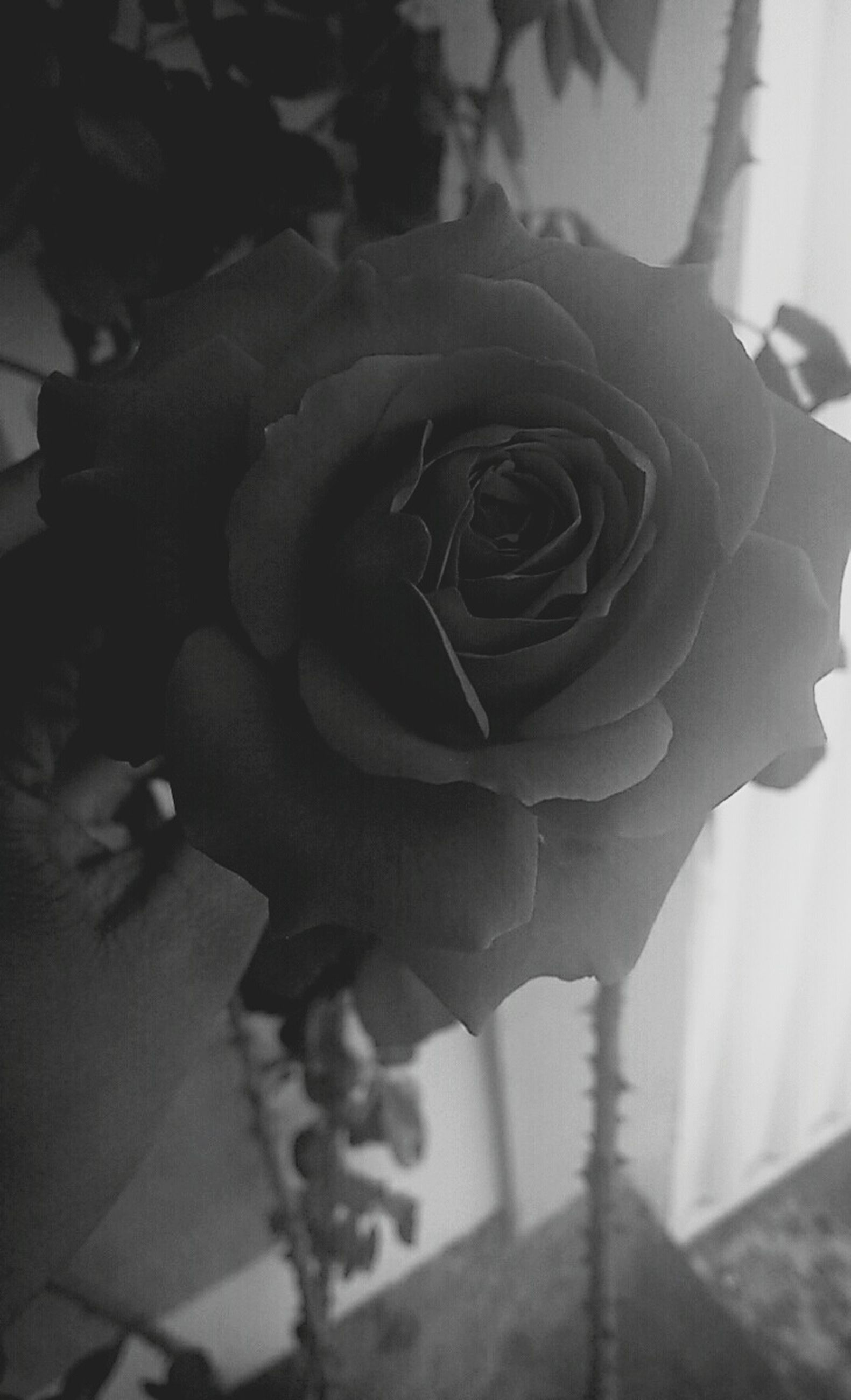 close-up, indoors, flower, focus on foreground, rose - flower, petal, fragility, creativity, art and craft, art, flower head, day, no people, single flower, high angle view, sunlight, shadow, plant, human representation, sculpture
