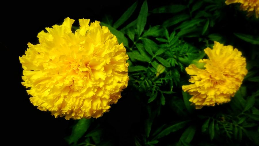 Beautiful marigold Flower Marigold Yellow Yellow Flower Colorful Beauty In Nature Plant Flora Colorfulflower Beautiful Nature Nature Freshness Floral
