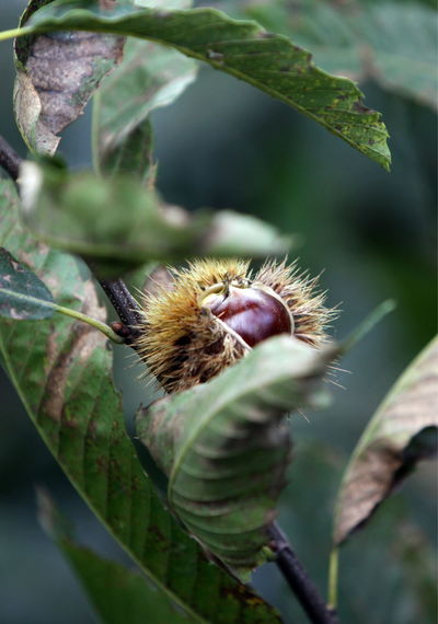 Close-up of chestnut growing outdoors