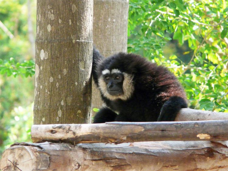 "Fun shot In - La Palmyre (17) "" species undetermined "" Ape Animal Photography Beard Bearded Guetteur Monkey Monkey Eyebrowned No People Observateur Observer One Animal Outdoor Primate Singe Spotter Tree Trunk Watcher"