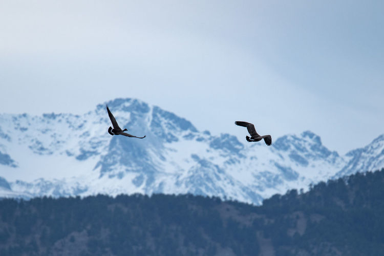 Colorado Boulder Nature Bird Animal Themes Flying Animal Animal Wildlife Vertebrate Animals In The Wild Mid-air Mountain Spread Wings Group Of Animals Beauty In Nature No People Sky Day Low Angle View Cold Temperature Two Animals Outdoors Snowcapped Mountain