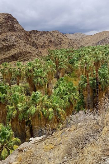 One of my new favourite places in California ❤ California Indian Canyons Palm Canyon Palm Springs Palm Trees Beautiful Nature Wonderful World Landscape_Collection Tree Rural Scene Arid Climate Agriculture Sky Landscape Plant Cloud - Sky
