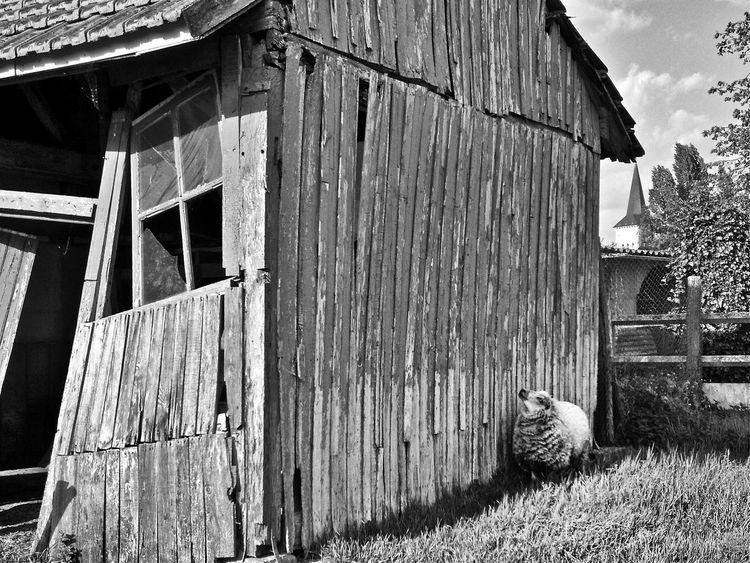 Nokia N8-00 Black & White Sheep Mouton La Flèche, Sarthe, France