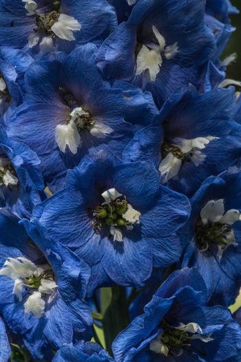 Flowerscape - Intensely Blue Blue Blue Flower Colorado Colorado Springs Flowers Horicultural Arts Society Garden Horticultural Arts Society Of Coloraodo Springs, CO Park Garden