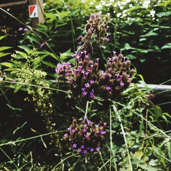 fleur Flower Purple Plant Outdoors Freshness