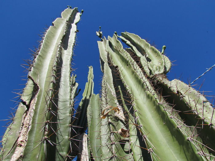 Low angle view of cactus against blue sky