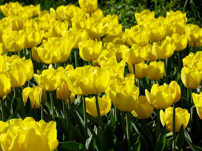 Tulip Tulips Flower Collection Springtime Spring Flowers Nature Nature_collection Flower Flower Head Yellow Petal Close-up Plant Blooming