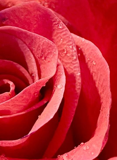 Close-up of wet red rose
