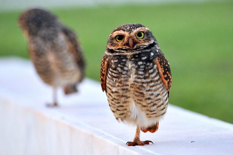 Coruja Owl Owl Art Owls coru Coruja Buraqueira Corujas