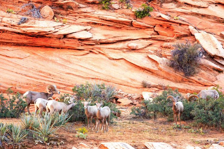 Bighorn Sheep Bighorn Sheep Zion National Park Utah Desert Bighorn Sheep RAM Horned Horns Wild Animal Horned Animals Arid Climate Desert Landscape Arid Landscape Arid