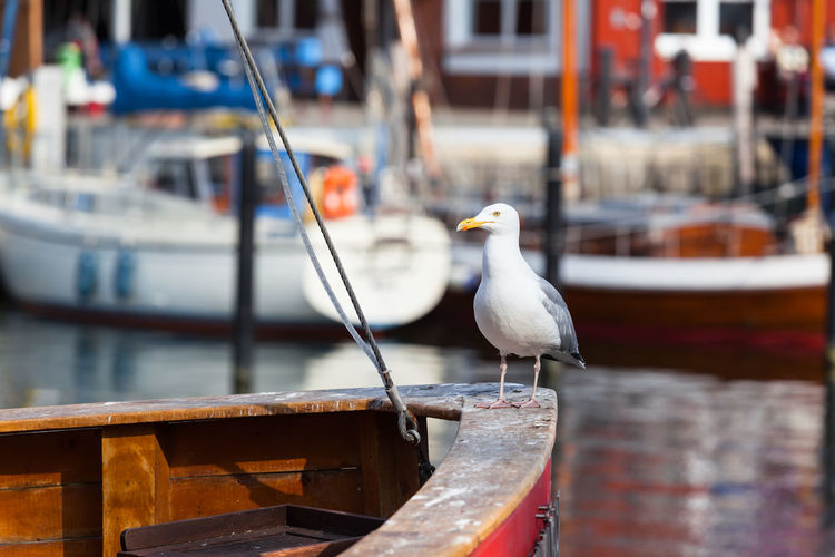 Big seagull stand on ship bow of wooden boat at small harbor background (copy space) Sailboat Ship Bow Skipper Animal Sailor Aboard On Board Beak City Life Small Town Baltic Sea Portrait Outdoors Travel Detail Bird Boat Copy Space Text Space Harbor Germany Port Rostock Seabird Seagull Warnemünde Water Wildlife Wooden Yacht Transportation Journey Captain