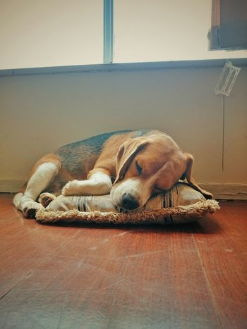 Sleeping Beagle Sleep Dog EyeEm One Animal Contrasts Light And Shadow Beaglelovers Beagles Of Eyyem Domestic Animals Animal Themes Beagle Dog Pets Capture The Moment Close-up Wallpaper