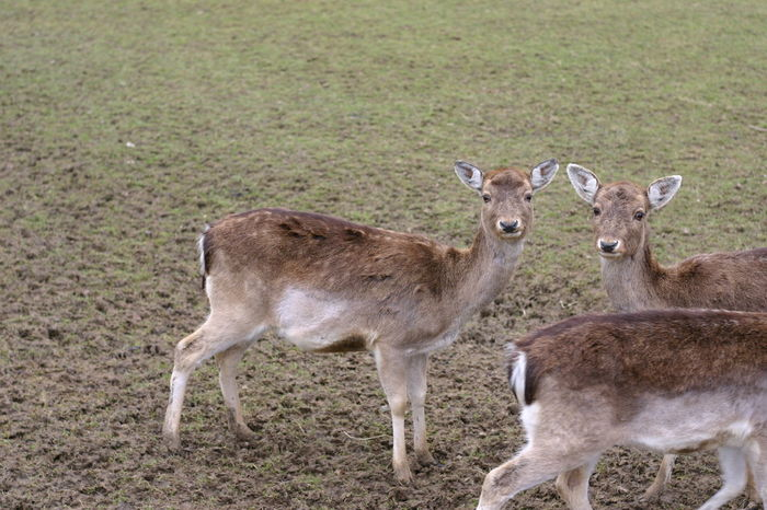 Animal Themes Animals In The Wild Beauty In Nature Day Deer Fawn Field Grass Mammal Nature No People Outdoors Young Animal