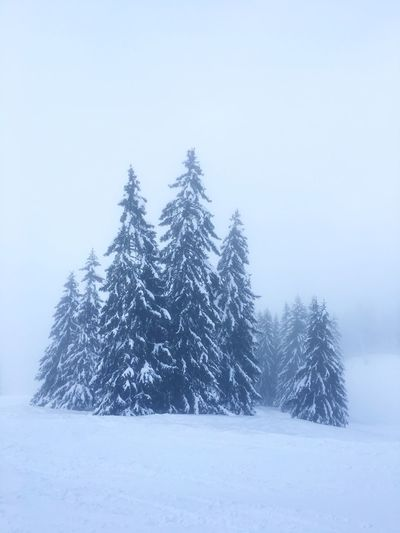 Pine trees on snow covered land against sky