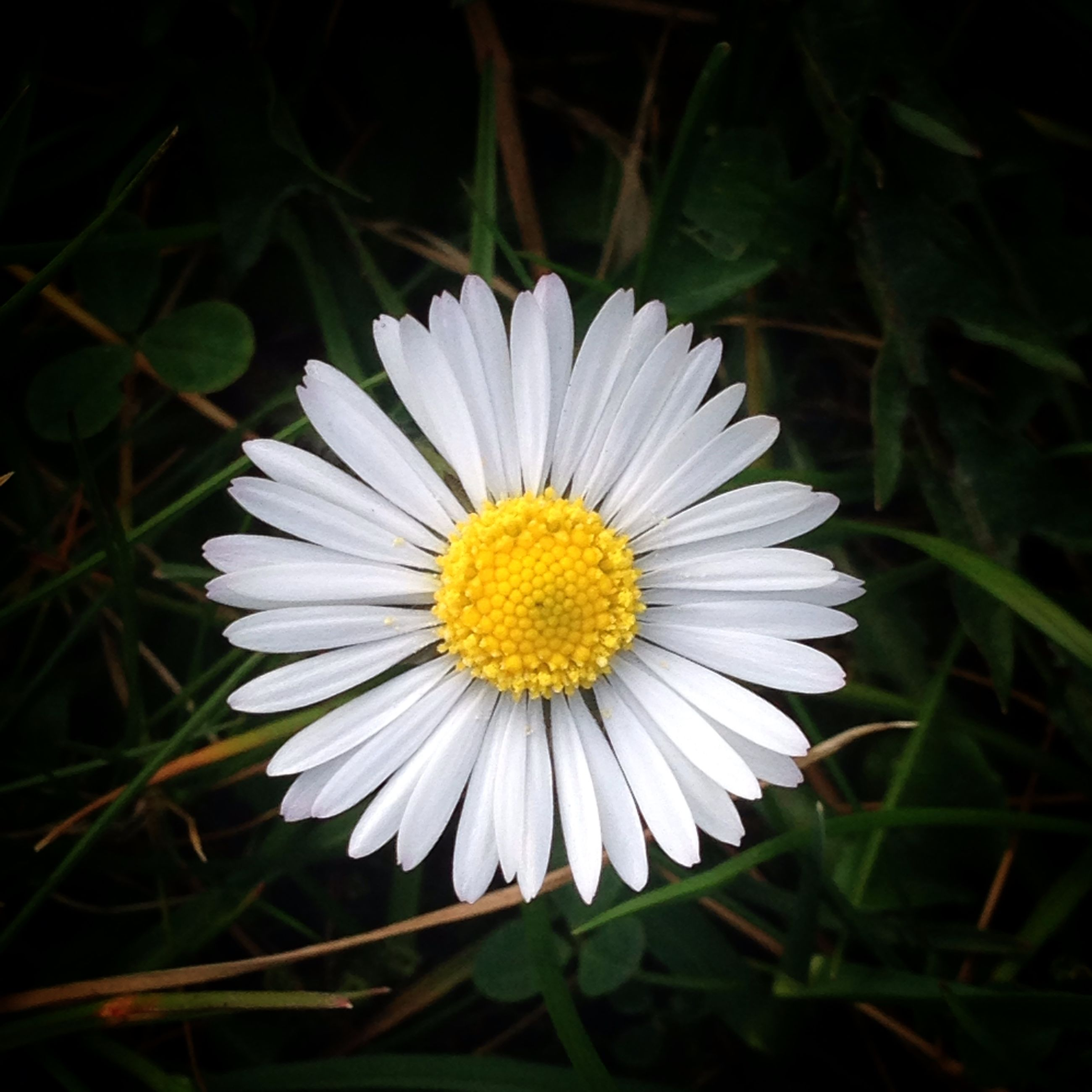 flower, petal, flower head, freshness, fragility, white color, daisy, growth, pollen, blooming, single flower, beauty in nature, close-up, plant, nature, yellow, focus on foreground, field, white, in bloom