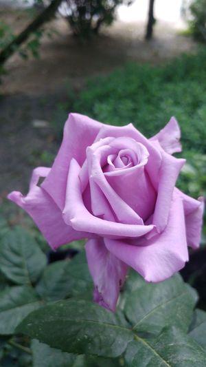 Flower Petal Nature Beauty In Nature Flower Head Plant Rose - Flower Close-up Freshness Fragility