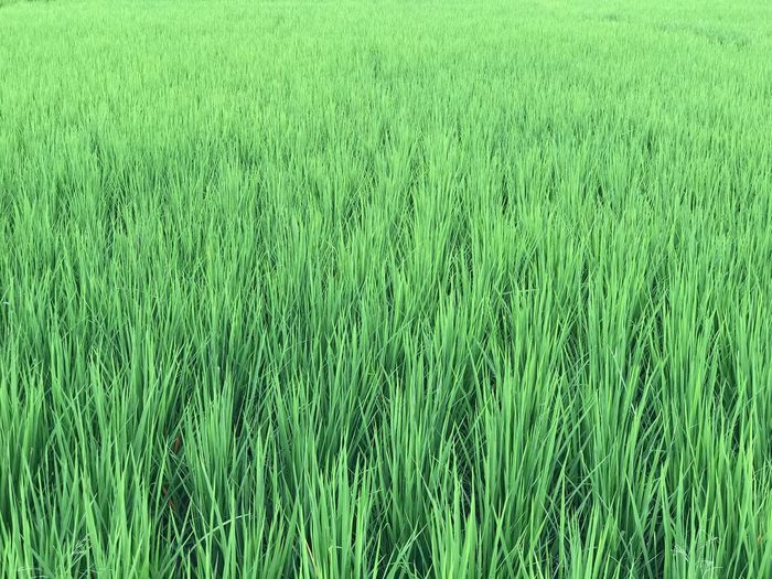 Agriculture Growth Field Cereal Plant Nature Farm Grass Crop  Wheat Rural Scene Green Color Ear Of Wheat Cultivated Land Rice - Cereal Plant Day Beauty In Nature No People Green Outdoors Tranquility The Week On EyeEm EyeEmNewHere