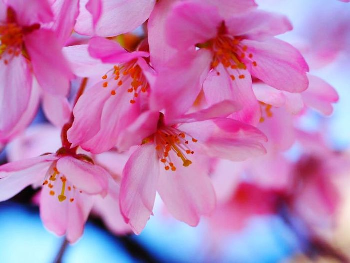 Flowers Pink Pink Flower Cherry Blossoms Vivid Colours  Vivid Flower Vivid Flowers Tokyo Cherry Blossoms