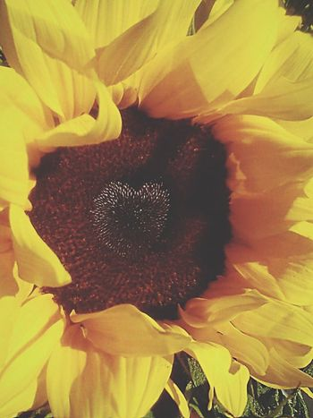 Sunflower love Sunflower Sunflowers🌻 Sunflowerlovers Flowers Flowerpower Flowercloseup Close-up Love Yellow Yellow Flower Sun Garden Plants And Flowers Plants 🌱 Nature My Favorite Photo EyeEm Nature Lover Colors Spring