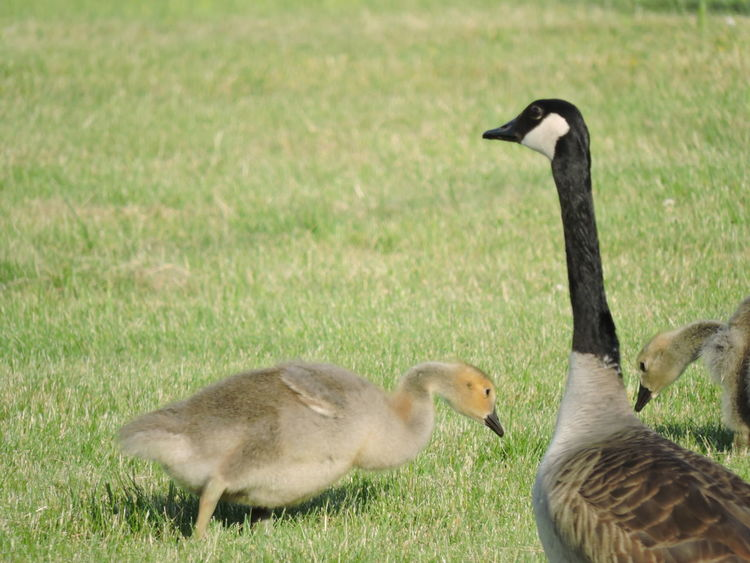 Animal Family Animal Themes Animal Wildlife Animals In The Wild Bird Day Field Goose Gosling Gosling, Canada Goose, Resting, Park, Grass Grass Nature No People Outdoors Young Animal Young Bird