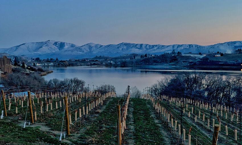 Vineyard at lake chelan at sunset