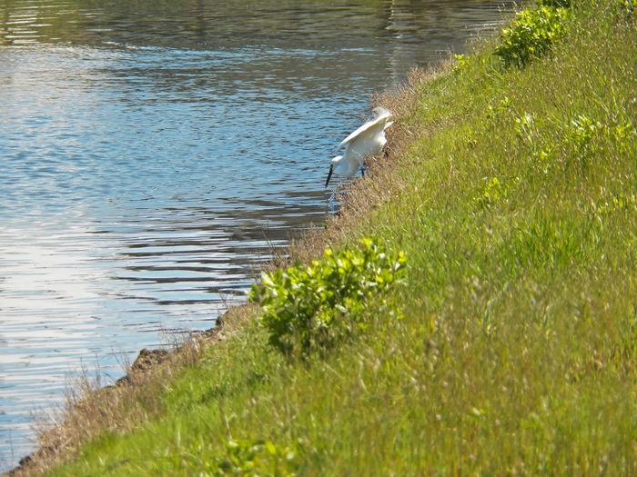 One tall egret with water scene near the lake Great Egret Egretta Alba White Bird Harpoon Fishing Harpoon Scenic Long Beak On Lake Nature Wildlife Wildlife And Nature Bird Photography