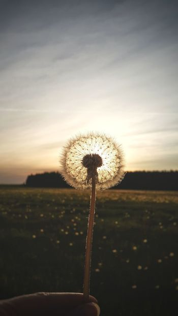 Nature Flower Sunset Field Outdoors Beauty In Nature Freshness Sky Wildflower Landscape No People Summertime Herb Summer Vibes Sunlight Flowers,Plants & Garden Nature_ Collection  Flower Head Travel Travel Photography Russia Folklife Dandelion Dandelion Collection Dandelion Flowers Live For The Story
