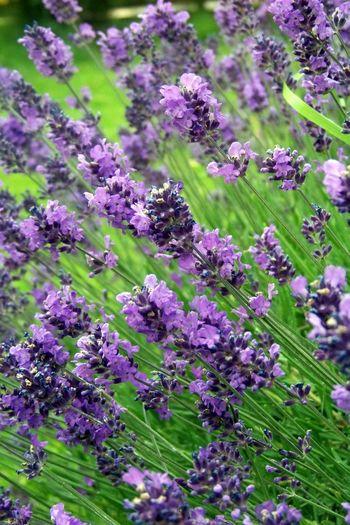Lavender last