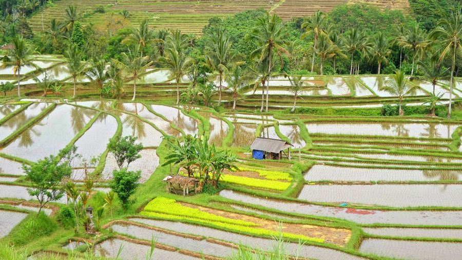 High angle view of rice field by swimming pool