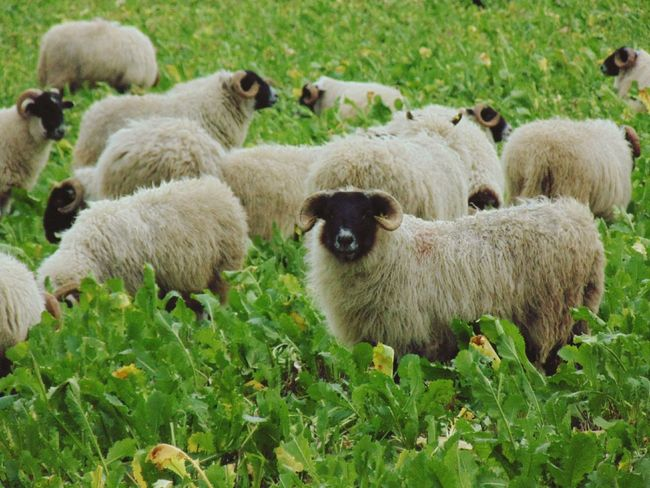 Sheep RAM Farm Animals Animal
