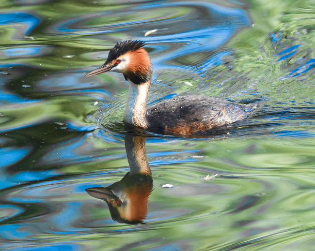 Animal Animal Themes Animal Wildlife Animals In The Wild Bird Day Duck Lake Motion Nature No People One Animal Poultry Reflection Rippled Swimming Vertebrate Water Waterfront