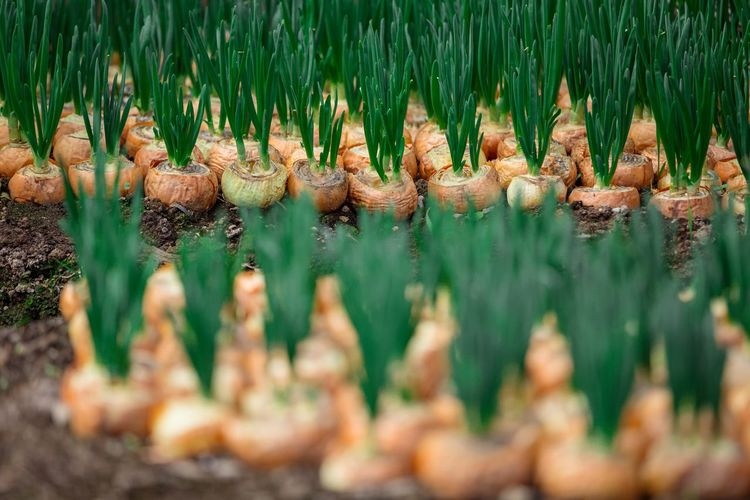 Close-up of onions growing at farm