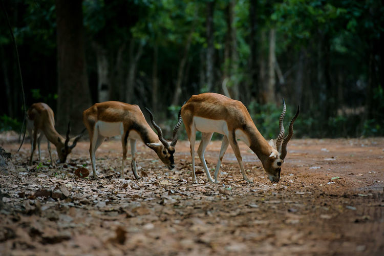 Antelopes grazing on land