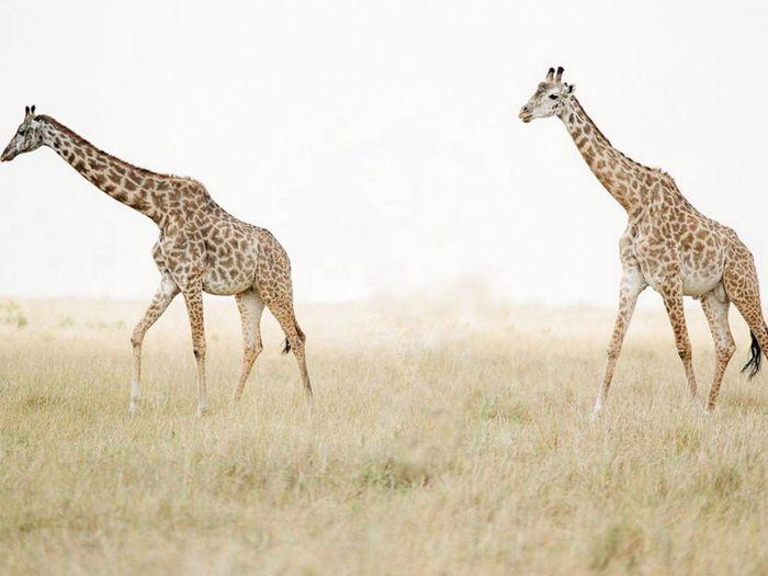 Side view of giraffe walking on landscape