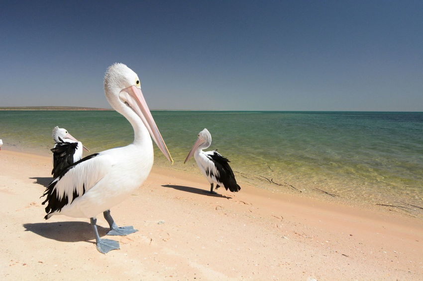 Pelicans on the beach. Monkey Mia. Shark Bay. Western Australia Shark Bay Australia Western Australia WesternAustralia Animal Animal Themes Animal Wildlife Animals In The Wild Aussie Beach Beauty In Nature Bird Clear Sky Coral Coast Group Of Animals Horizon Horizon Over Water Monkey Mia Monkey Mia Australia Nature No People Pelican Pelicans Sand Travel Destinations Water