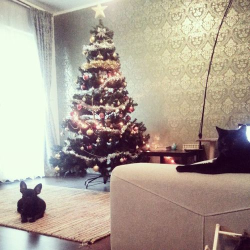 We are ready for the holiday season. Let's see how long will this last for :)) Frenchie Batpig Friends Frenchbulldog Love Fab_frenchies Frenchieoftheday Black Cat Home Christmastree