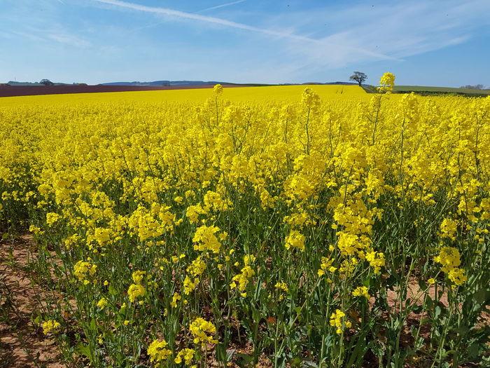 Rapeseed flowers blooming on field against sky