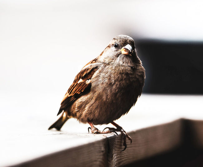 Bird Animal Themes Animal Animal Wildlife One Animal Vertebrate Animals In The Wild Perching Close-up No People Day Focus On Foreground Sparrow Wood - Material Nature Outdoors Selective Focus Full Length Railing Zoology