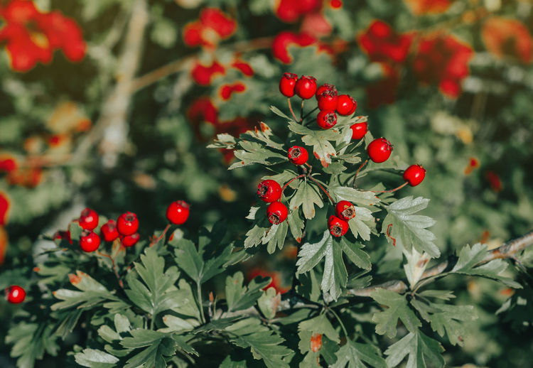 Red ripe berries of hawthorn branches with dark green leaves. in the rays of the evening autumn sun.