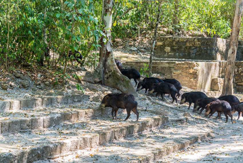 Peccaries passing through ancient Mayan ruins in Calakmul, Mexico Calakmul Campeche Central America Mayan Mexico Ruins Travel Yúcatan Animal Themes Biosphere Calakmul Biosphere Reserve Day Mammal Nature No People Outdoors Peccaries Peccary Reserve Tourism Travel Destinations Xpujil Yucatan Mexico Yucatan Peninsula