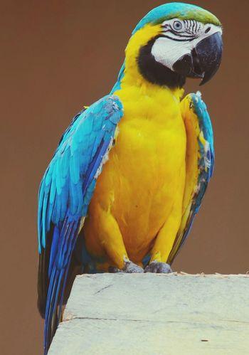 Exotic Bird Amazon Amazon Rainforest Amazonas Guacamaya Psittacidae Guacamayo Guacamayo Azulamarillo Colors Colours In Nature No People Close-up Travel Colombia Parrot Fauna Animal Colorful Rainforest Bird Simple Colors In Nature