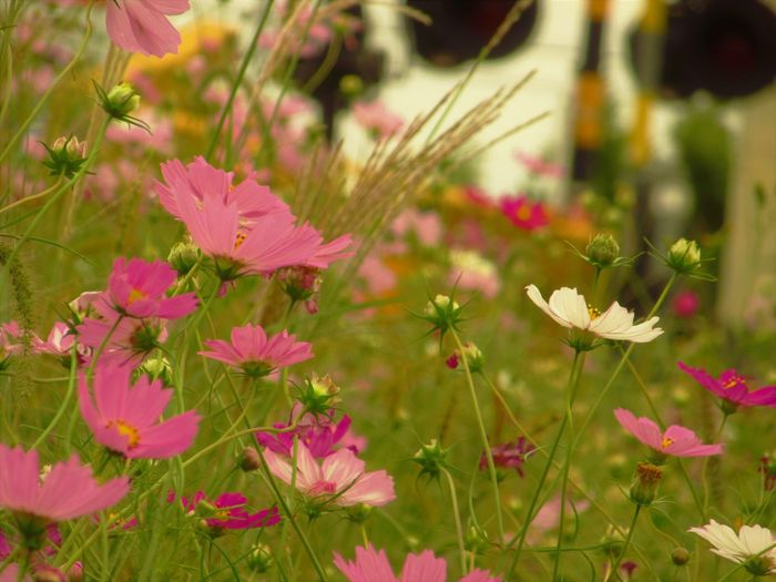 No People Outdoors Flower Plant Pink Color Growth Nature Petal Close-up Cosmos