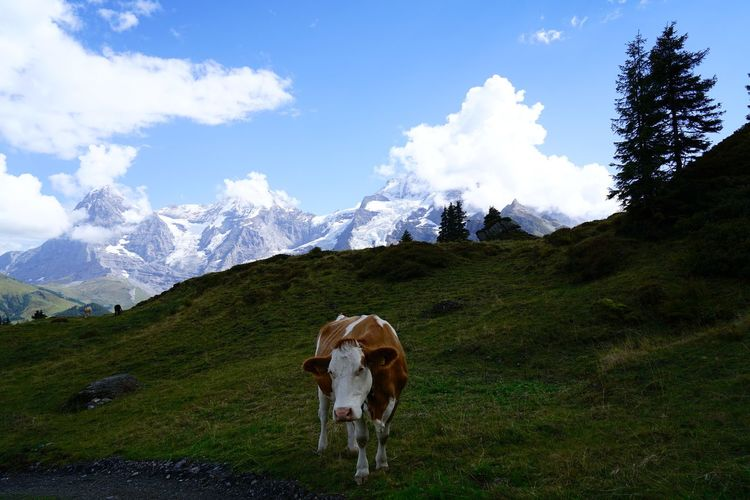 View of cow on mountain against sky