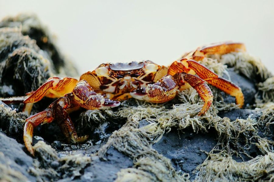 Animal Themes Crab Animals In The Wild Animal Wildlife Claw One Animal Crustacean Beach Close-up Outdoors Day Sea Life Nature No People