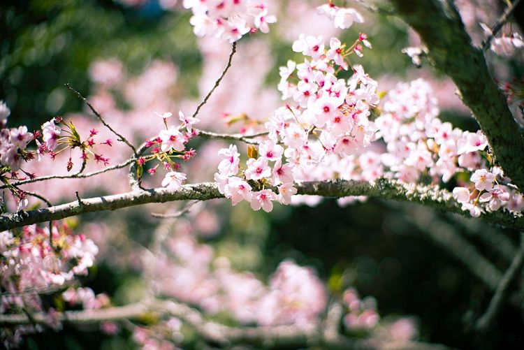 Bokeh Photography Bokeh Cherry Blossoms Cherry Tree EyeEm Selects Flowering Plant Plant Flower Pink Color Freshness Fragility Beauty In Nature Vulnerability  Growth Nature Tree Branch Blossom Day No People Selective Focus Springtime Close-up Outdoors Focus On Foreground