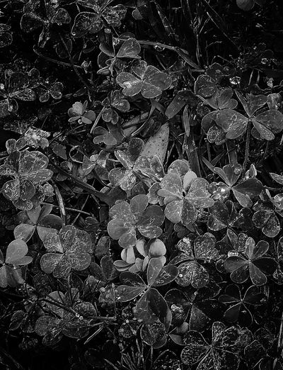 Clover in black and white Plants Enjoying Life Black And White Plants Black And White Fence