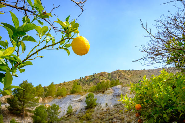 Rustic Beauty In Nature Citrus Fruit Day Fruit Green Color Growth Healthy Eating Lemon Lemon Tree Low Angle View Mountain Nature No People Outdoors Plant Rustic Beauty Scenics - Nature Sky Sunlight Tranquility Tree Yellow