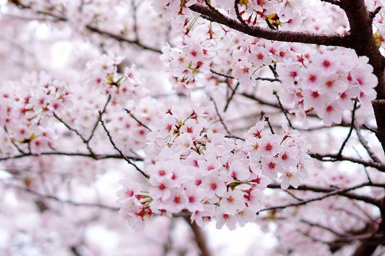 Kyoto,japan Sakura Plant Flower Flowering Plant Beauty In Nature Fragility Freshness Tree Pink Color Blossom Springtime Close-up Nature