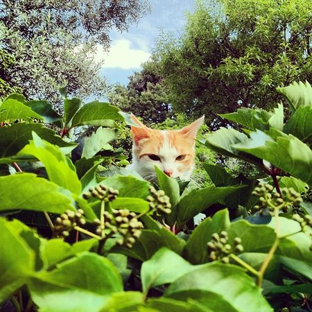 Hide and seek Photoday 30likes Cat Ubiquography IPhone 30like Random Instalovers_gr IPhoneography Play Green Hide Photooftheday Streetography 30 Igers