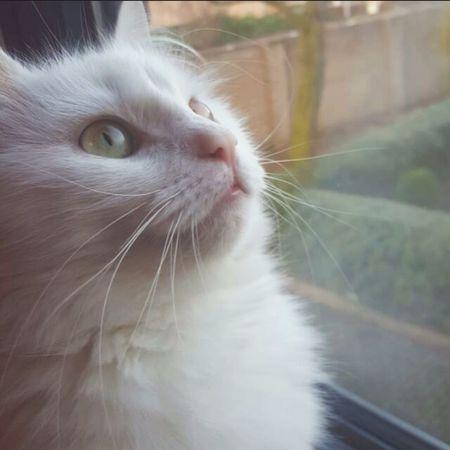 My beautiful cat. Angoracat Kedicik 🐈 Loveher Mamasbaby Cat
